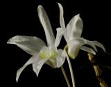 Dendrobium moniliforme kinkaku, botanic 4 cm