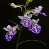 Ponerorchis gramminifolia