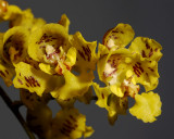 Oncidium cornigerum , 2 cm
