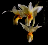 Gallery stanhopea orchids