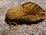 Rietvink nachtvlinder