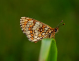 Woud parelmoervlinder