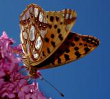 Vlinders-Butterflies  Piet Brouwer