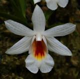Dendrobium chrystianum, Ueang Sae Doi Pui   3 cm