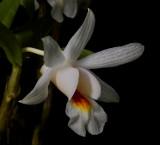 Dendrobium chrystianum, botanic,  3 cm