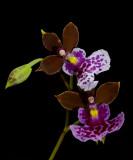Oncidium/Caucaea mimetica, 2 cm