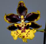Oncidium carcatum,  2.5 cm