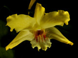 Dendrobium lowii, botanic, 3 cm