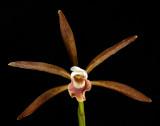 Cattleya araguaiensis, 6 cm