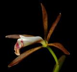 Cattleya araguaiensis, botanic, 6 cm