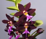 Trichoglottis brachiata, botanic, flowers 5 cm
