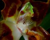 Huntleya apiculata, botanic, 6 cm