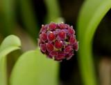 Platystele umbellata, flowers 1 mm
