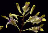 Dendrobium canaliculatum, Papua new G.