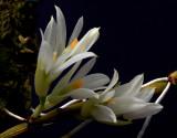 Dendrobium bracteosum ,  alba , 4 cm