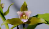 Lycaste schilleriana, flower 8 cm