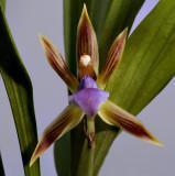 Huntleya heteroclita, 6 cm