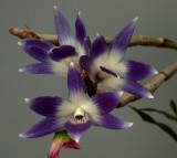 Dendrobium victoria-reginae, botanic, flowers 5 cm