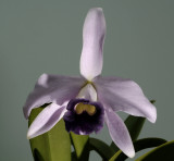 Cattleya pumila 'coerulea'