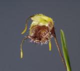 Masdevallia erinacea, flower 1.5 cm