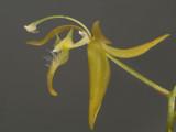 Polycygnus sp.  3 cm, swan orchid