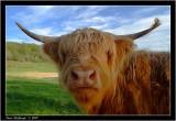 highland coo.jpg