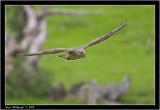buzzard flight.jpg