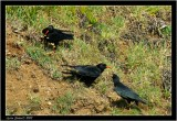 choughs and chick.jpg