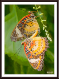 Red Lacewing Butterflies Mating