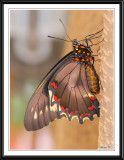 Polymdmus Swallowtail