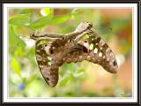 Malachite butterflies mating