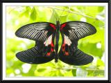 Great Mormon Butterflies Mating