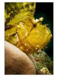 Nacala Leaf fish profile