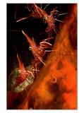 Nacala Beak shrimps