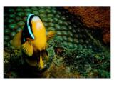 The Odd Clownfish in Nacala