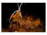 Nacala Cleaner Shrimp