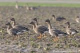 Toendrarietgans / Tundra Bean Goose
