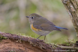 Blauwstaart / Red-flanked Bluetail