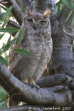 Vermiculated (Greyish) Eagle-Owl - Vale Oehoe - Bubo cinerascens