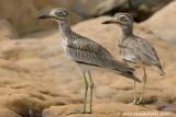 Senegal Thick-knee - Senegalese Griel - Burhinus senegalensis