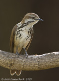 Spotted Morning-Thrush - Gevlekte Palmlijster - Cichladusa guttata