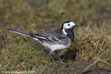 Rouwkwikstaart / Pied Wagtail