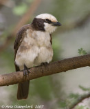 Northern White-crowned Shrike - Rüppells Witkruinklauwier -  Eurocephalus rueppelli