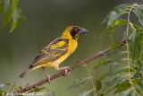 Black-headed (Village) Weaver - Grote Textorwever -  Ploceus cucullatus