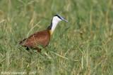 African Jacana - Lelieloper - Actophilornis africanus