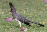 White-bellied Go-away-bird - Witbuiktoerako - Corythaixoides leucogaster