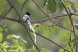 African Paradise-flycatcher - Afrikaanse Paradijsmonarch - Terpsiphone viridis