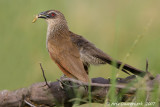 White-browed Coucal - Wenkbrauwcoucal - Centropus superciliosus