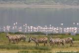 Plains Zebra - Steppenzebra - Equus quagga (formerly E. burchelli)