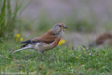 Kneu / Common Linnet